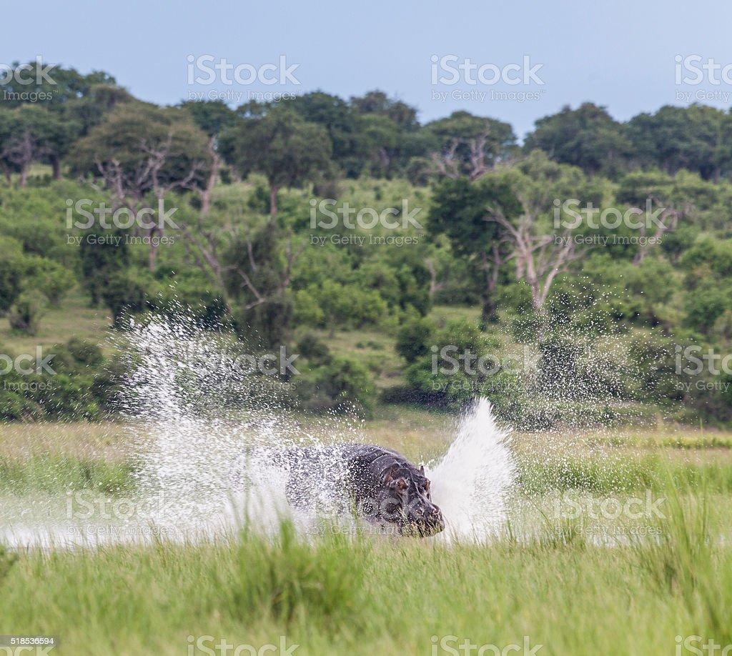 Hippo charging through water creating a big splash; Chobe_N.P., Botswana stock photo