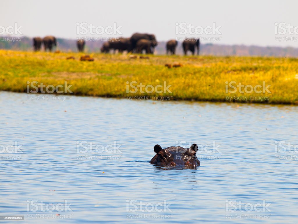Hippo completely sunk below the river surface stock photo