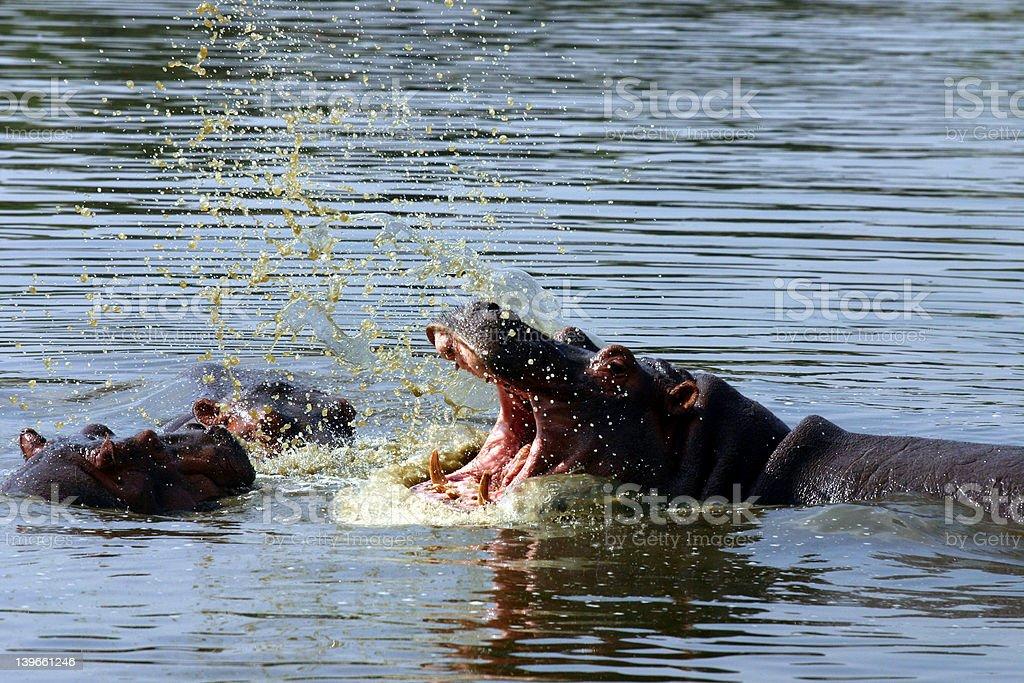 Hippo Fight stock photo