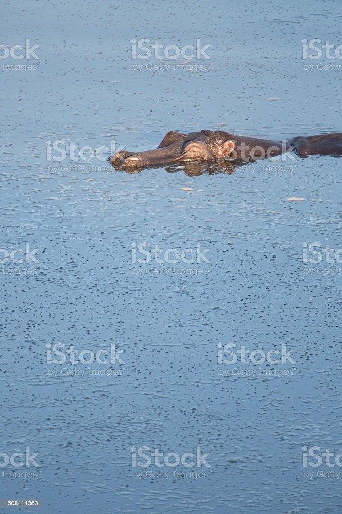 Hippo floating in waterhole stock photo