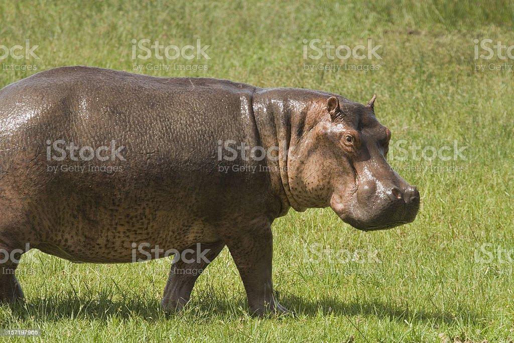 Hippo gazing royalty-free stock photo