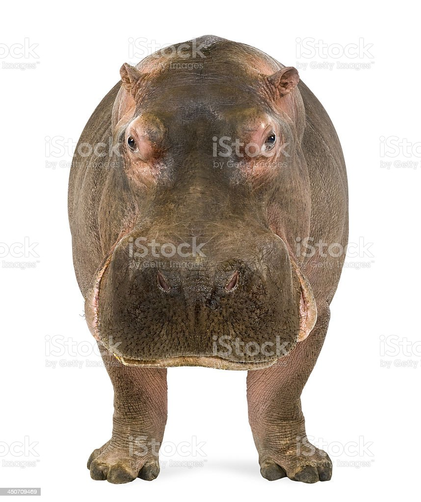 Hippo, Hippopotamus amphibius, facing the camera stock photo