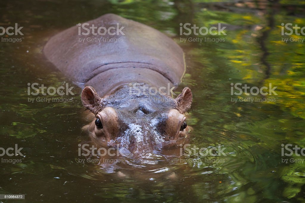 hippo holding head above water in lake. stock photo