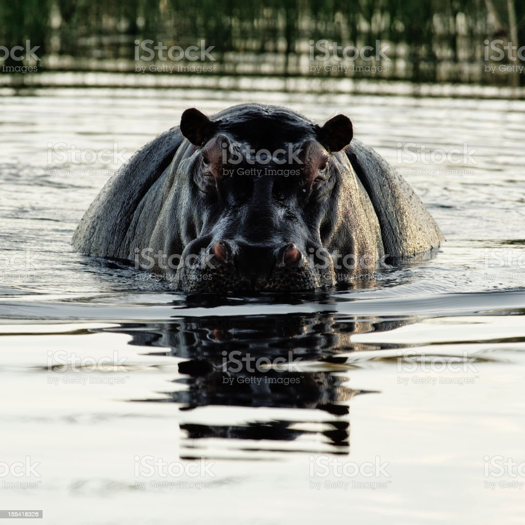 Hippo ( Hippopotamus amphibius) in Okavango Deltan,Botswana royalty-free stock photo
