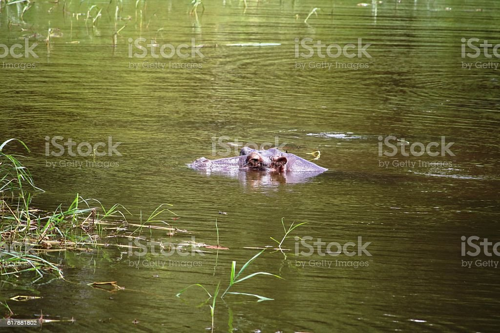Hippo in the Sambesi, Zambia Africa stock photo