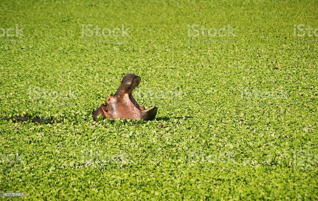 Hippo in Water Lettuce stock photo