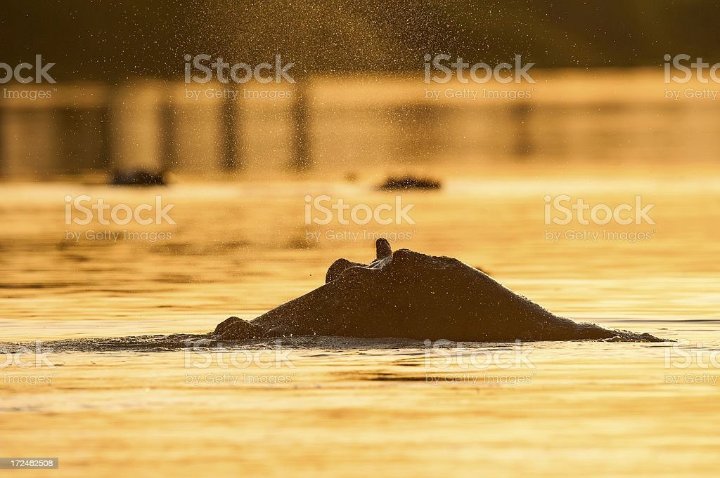 Hippo is breathing and blowing out water royalty-free stock photo