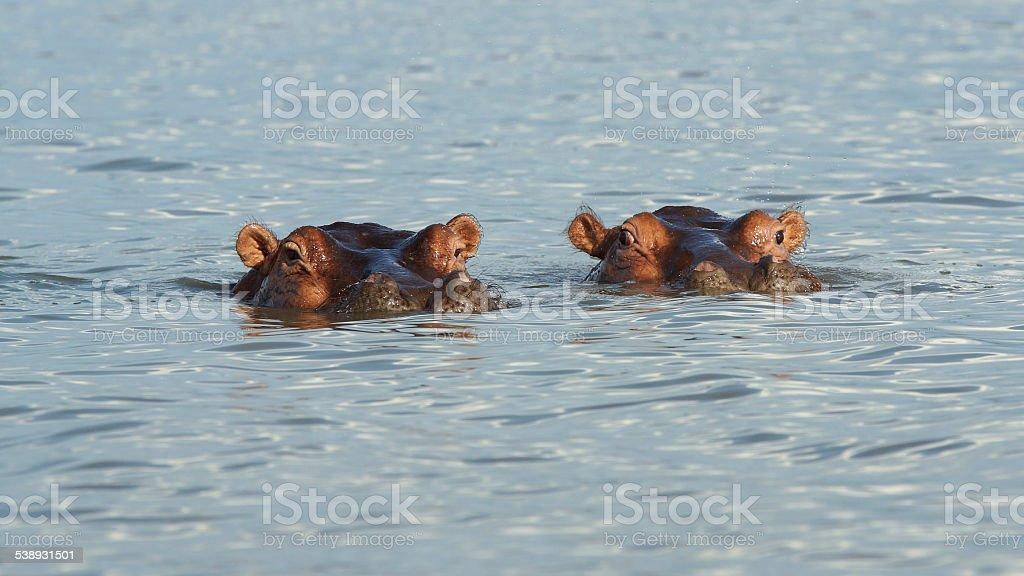 Hippo, Lake Chamo, Ethiopia, Africa stock photo