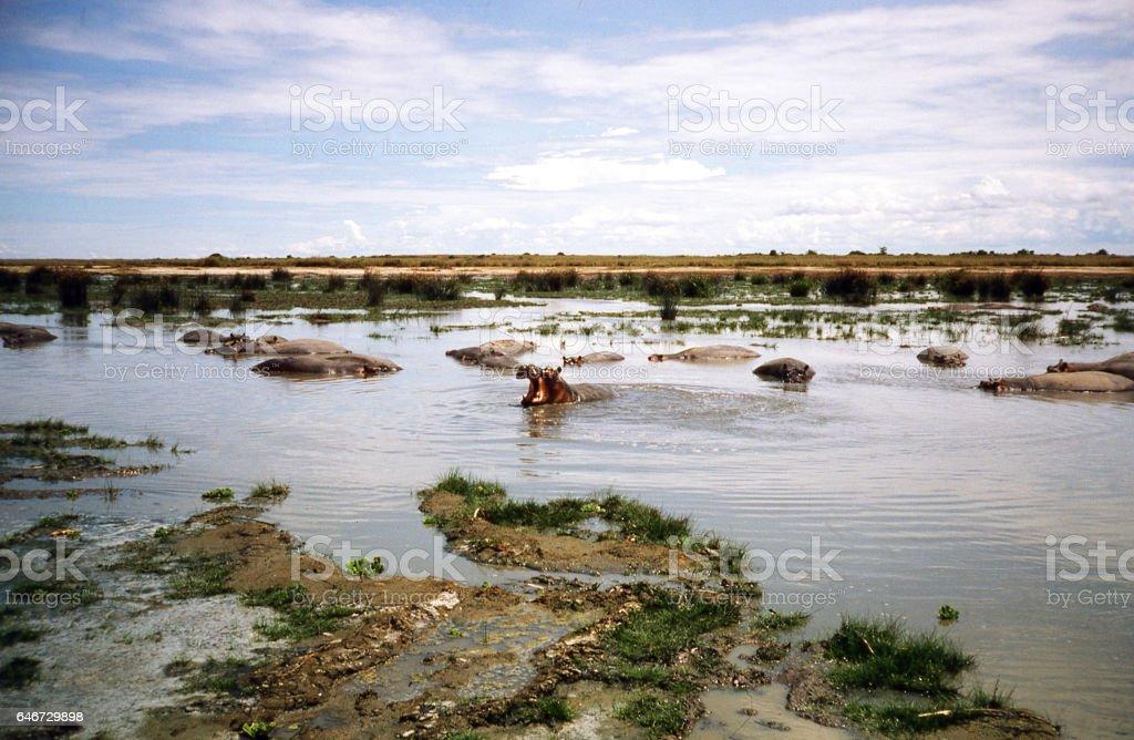 Hippo mud wallow Virunga National Park Democratic Republic Congo Africa stock photo