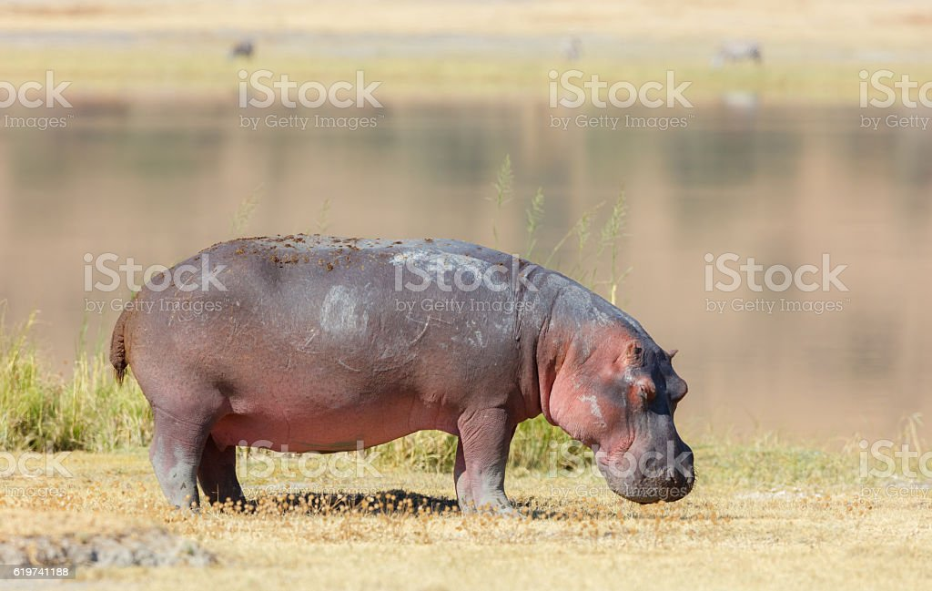 Hippo Near a Lake at Ngorongoro Crater, Tanzania Africa stock photo