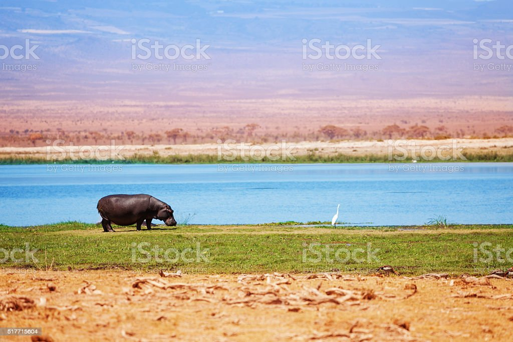 Hippo out of water walking in grass, Kenya, Africa stock photo