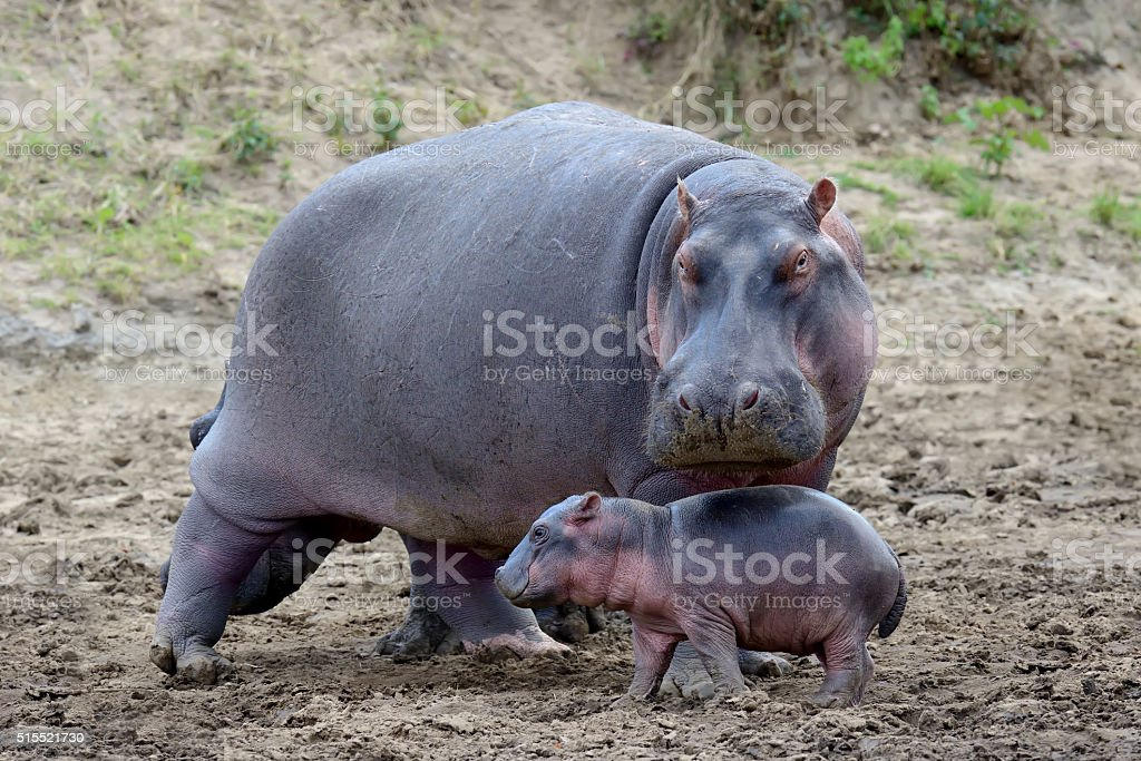 Hippo (Hippopotamus amphibius) stock photo