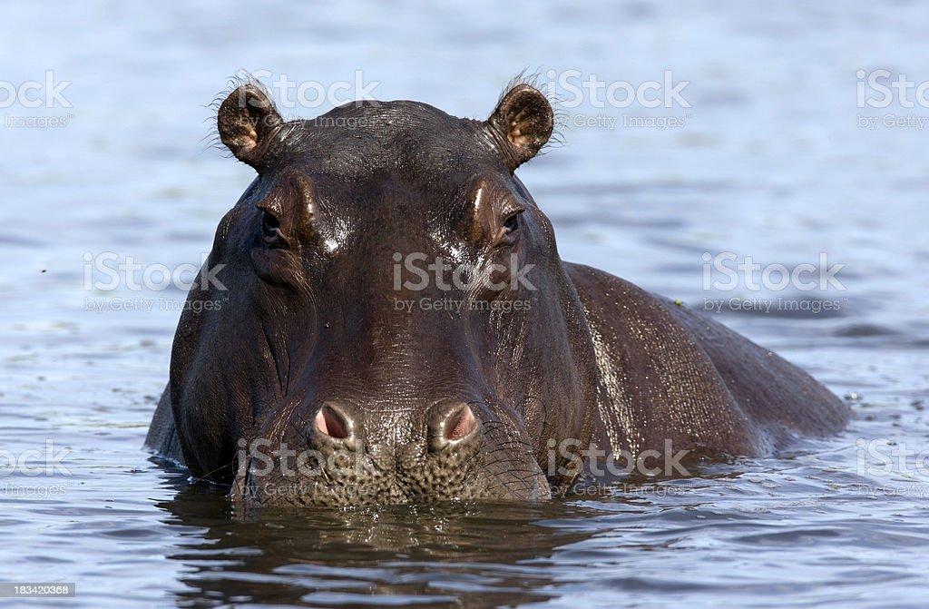 Hippo Portrait stock photo