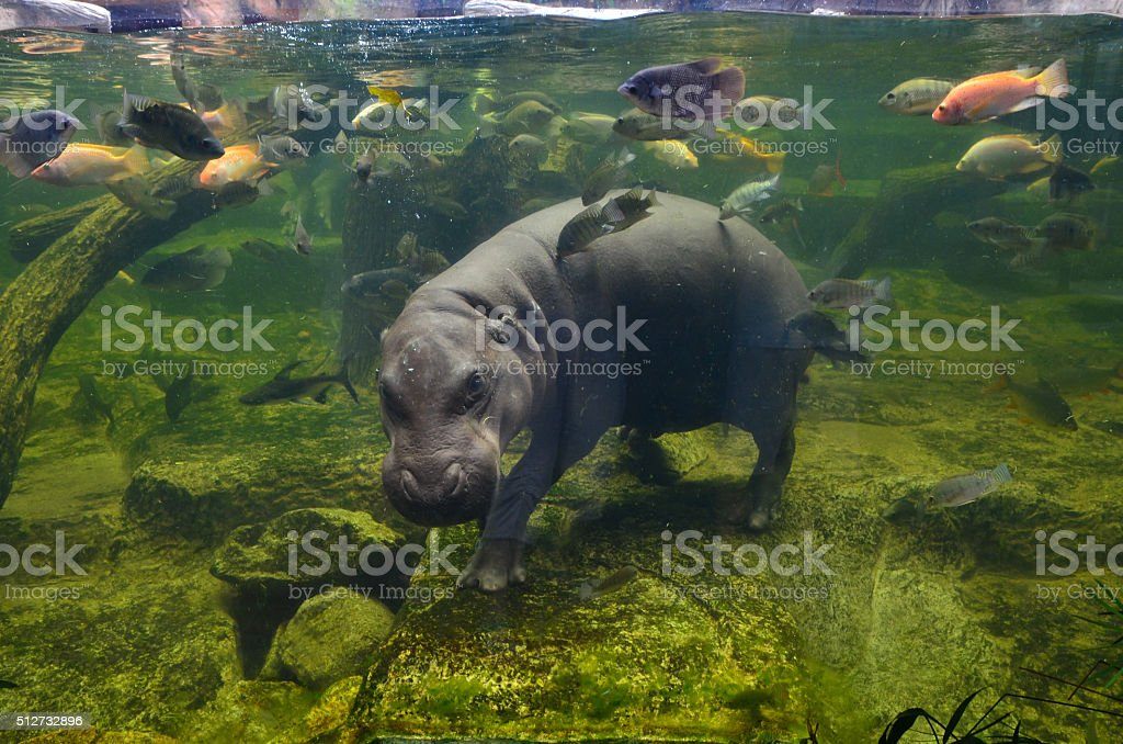 Hippo, pygmy hippopotamus under water stock photo