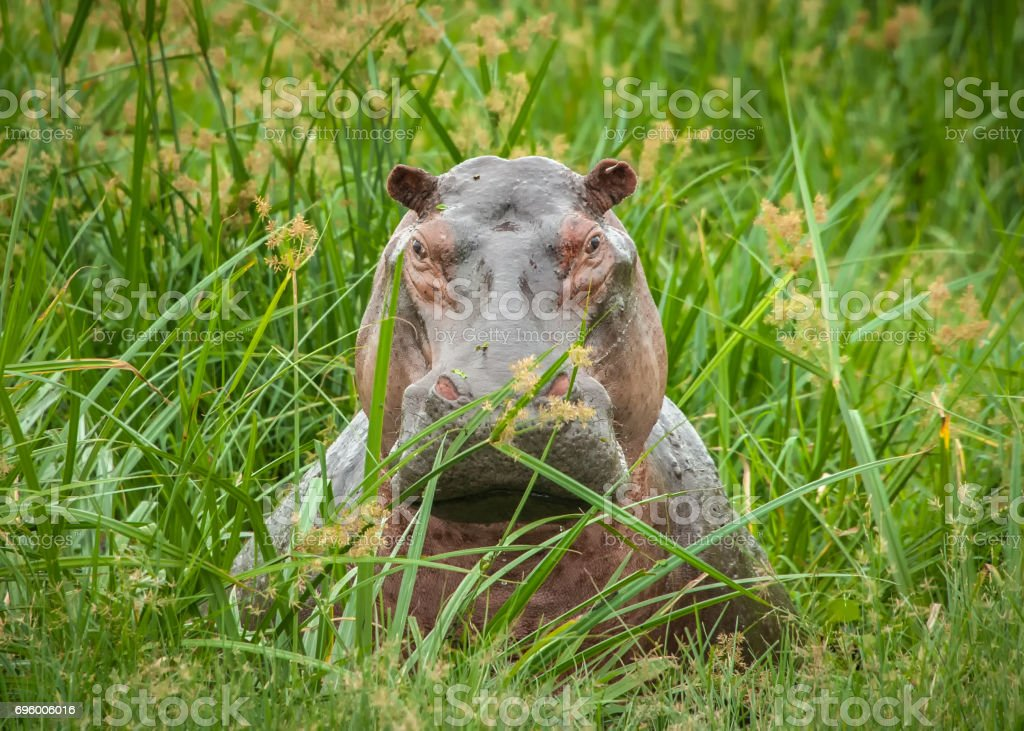 Hippo relaxing near the Nile River, Murchison Falls National Park, Uganda stock photo