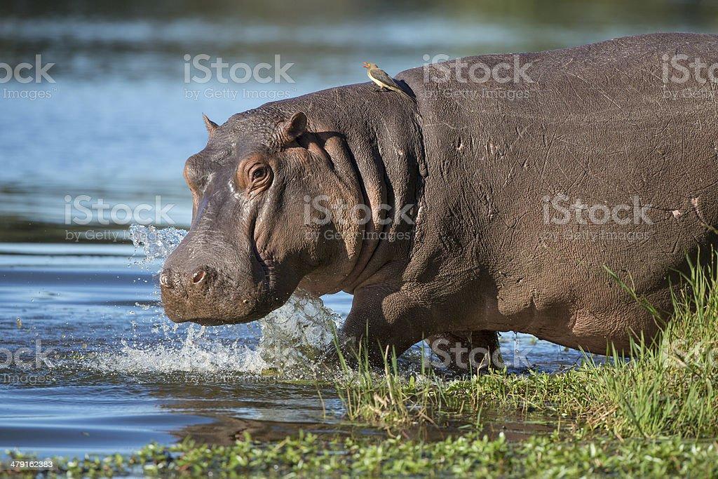 Hippo (Hippopotamus amphibius) South Africa stock photo