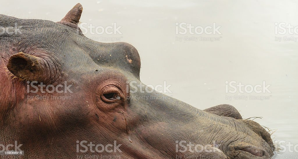 Hippo submerged in water royalty-free stock photo