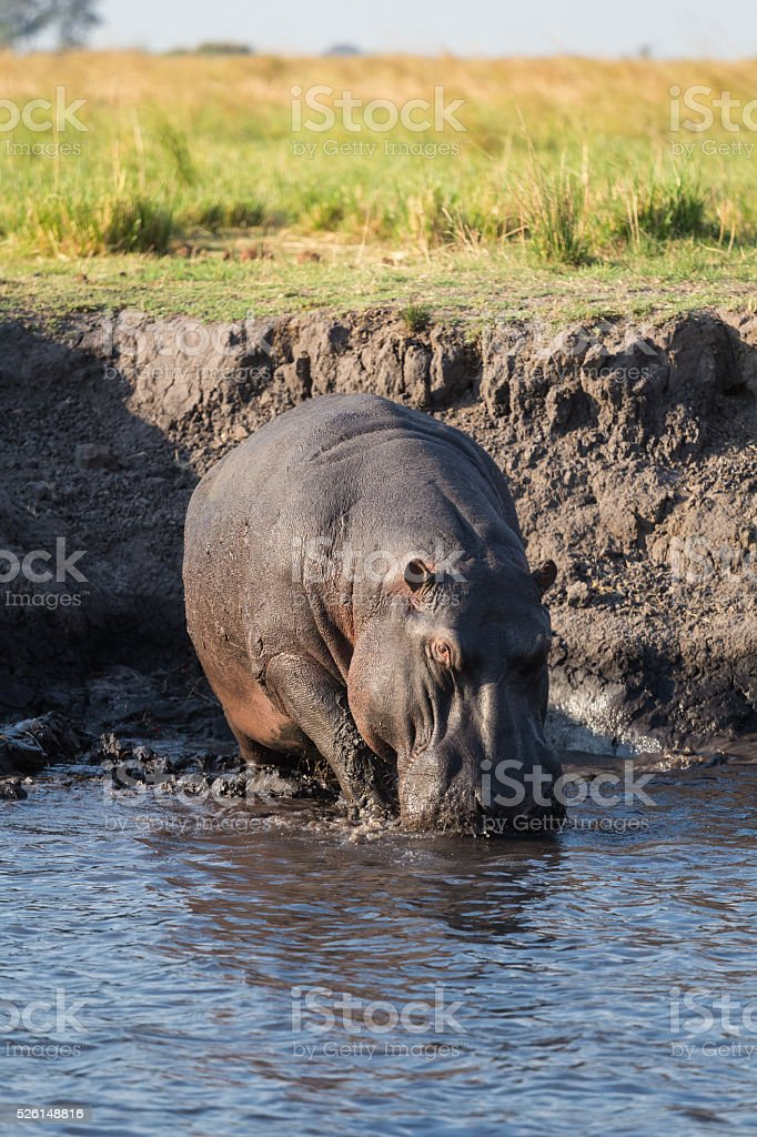 Hippo walking in river stock photo