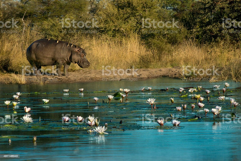 Hippo with birds on its back stands on edge of river stock photo