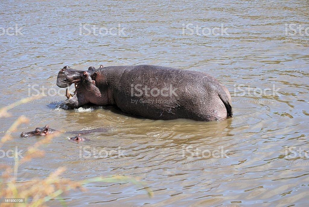 hippo with calf stock photo
