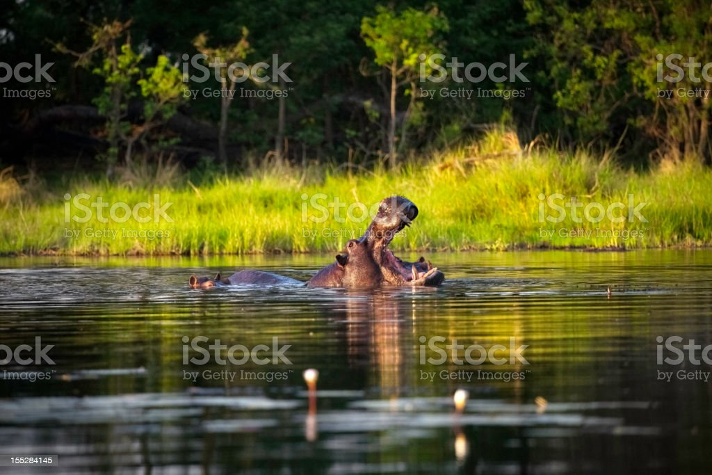 Hippo with open mouth in the water in Botswana stock photo