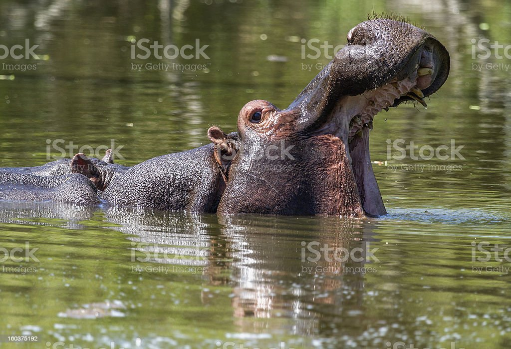 Hippo with open mouth royalty-free stock photo