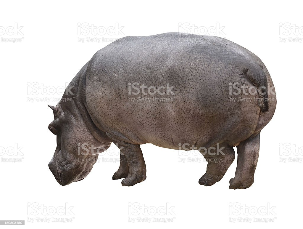 Hippo_isolated stock photo
