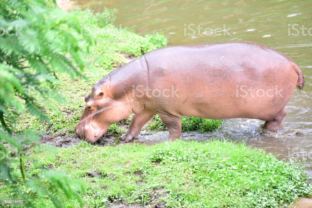Hippopotamamus stock photo