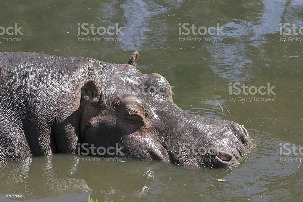 Hippopotamus amphibius Hippo royalty-free stock photo