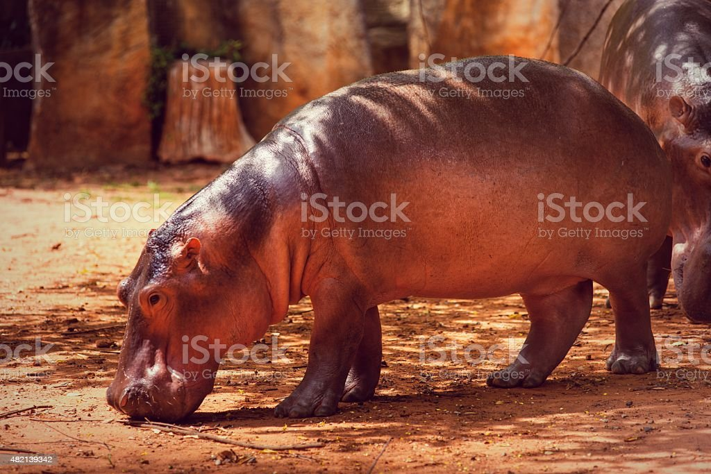 Hippopotamus, animals, mammals and herbivorous. stock photo