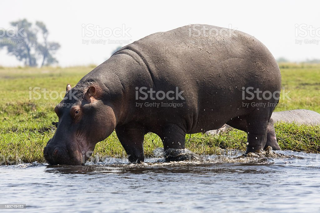 Hippopotamus at edge of water, Chobe National Park, Botswana stock photo