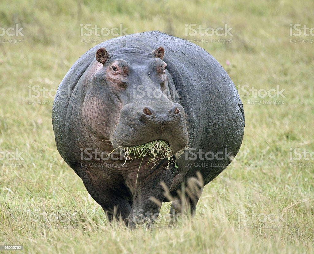 Hippopotamus eating grass in an open field stock photo