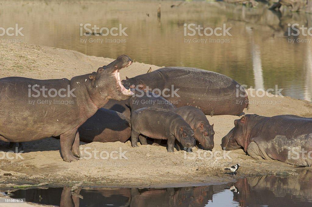 Hippopotamus family stock photo