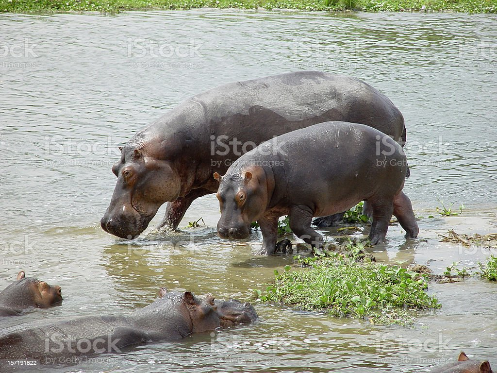 Hippopotamus family royalty-free stock photo