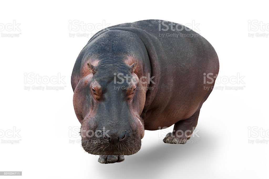 Hippopotamus front view stock photo