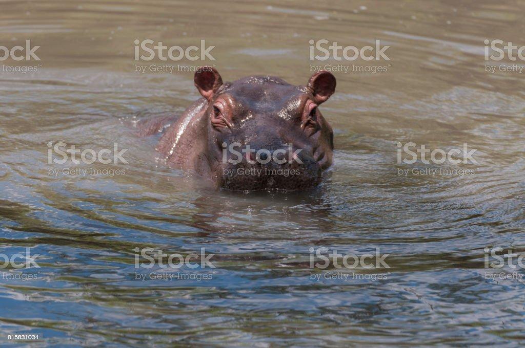 Hippopotamus head just above water facing camera and ears pointing up. Masai Mara, Kenya, Africa stock photo