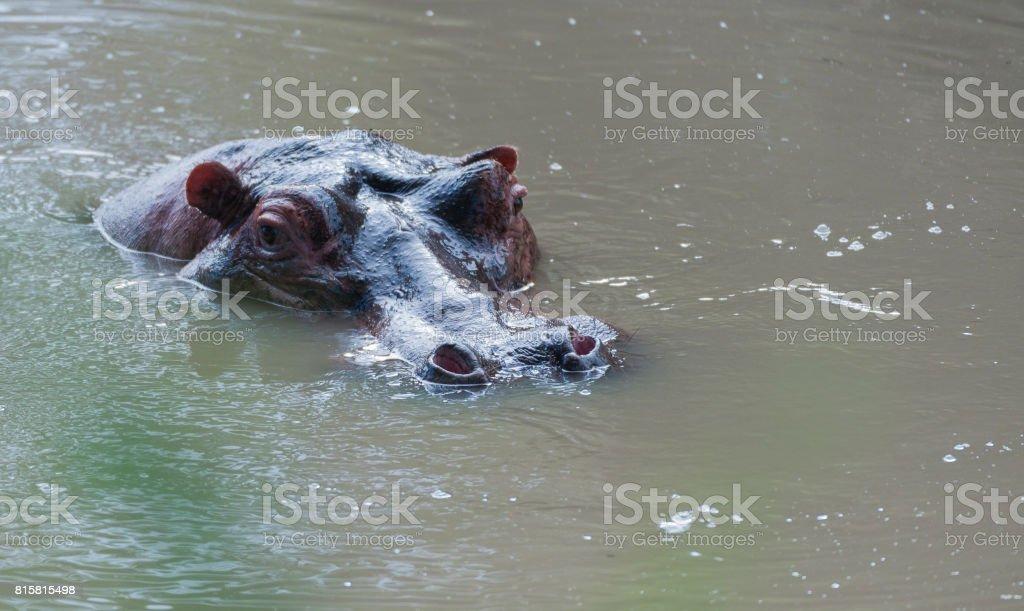 Hippopotamus, (Hippopotamus amphibius), head just above water, showing big eye and haris on nostrils, Masai Mara, Kenya, Africa stock photo
