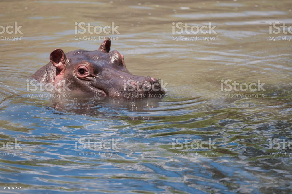Hippopotamus head just above water with big eye visible and ears pointing up and whiskers on nose. Masai Mara, Kenya, Africa stock photo