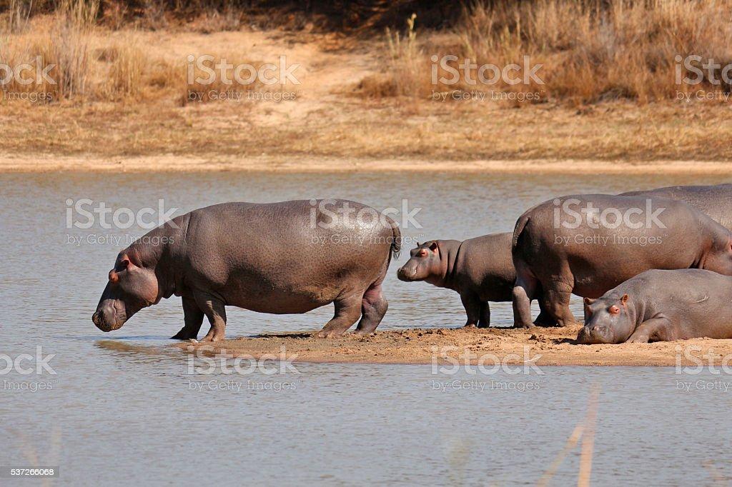 Hippopotamus hippo Africa Zimbabwe Matopos big game wildlife water stock photo