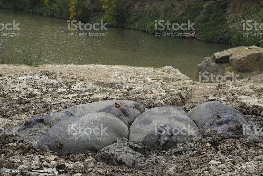 Hippopotamus  in mud bath royalty-free stock photo