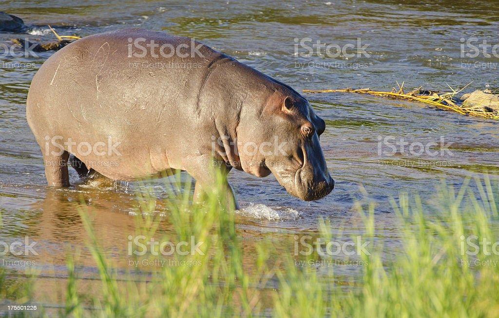 Hippopotamus in River - South Africa stock photo