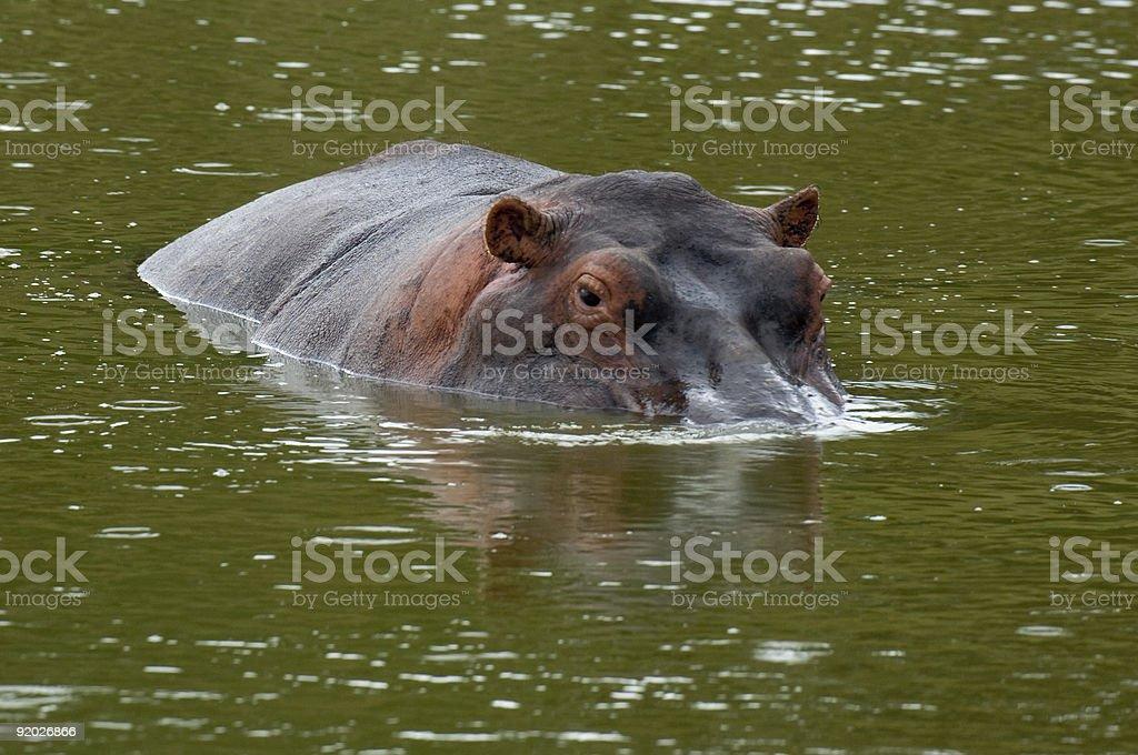 Hippopotamus in shallow water royalty-free stock photo