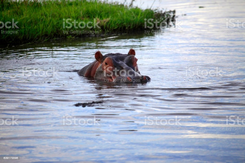 Hippopotamus in the river stock photo