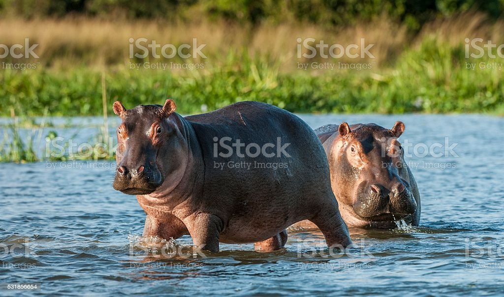 Hippopotamus in the water. royalty-free stock photo