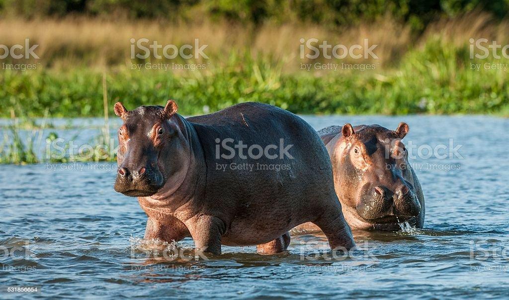 Hippopotamus in the water. stock photo