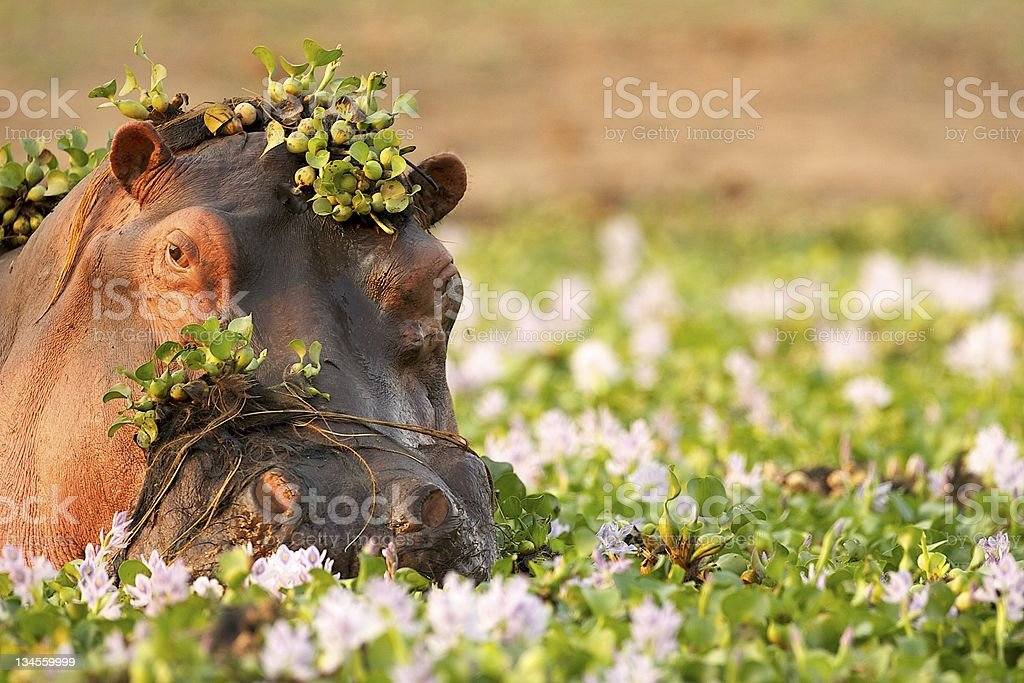 Hippopotamus in the Zambezi stock photo