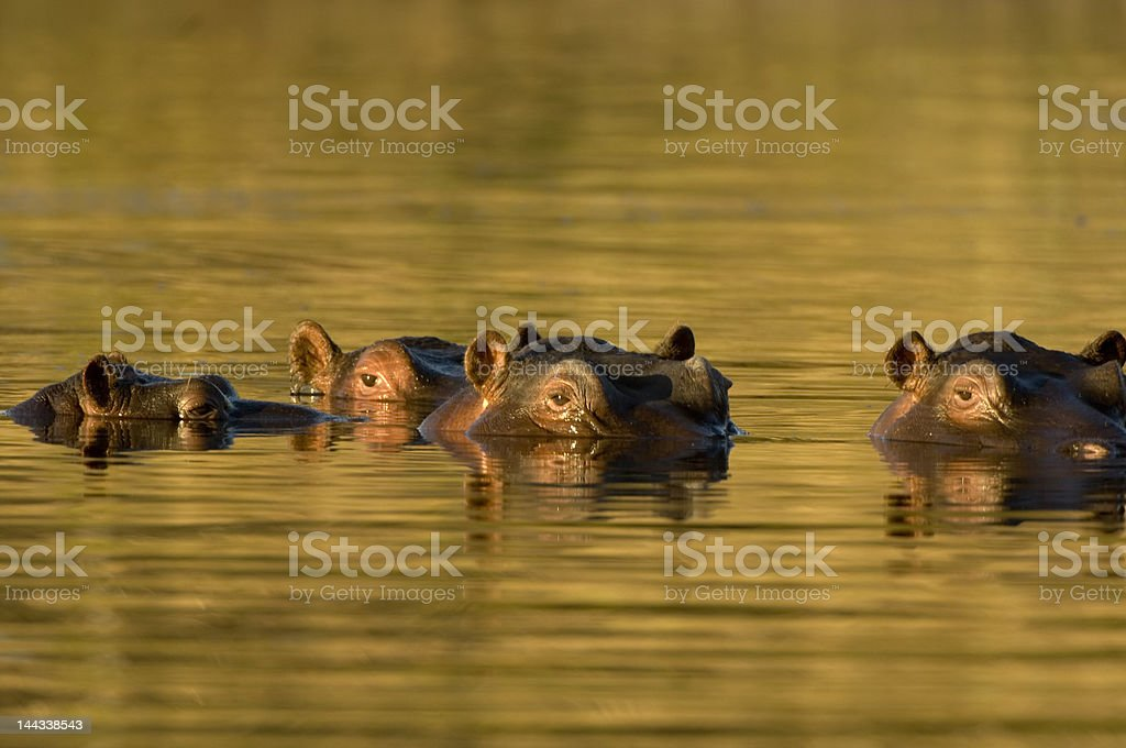 Hippopotamus in watering hole at dusk royalty-free stock photo