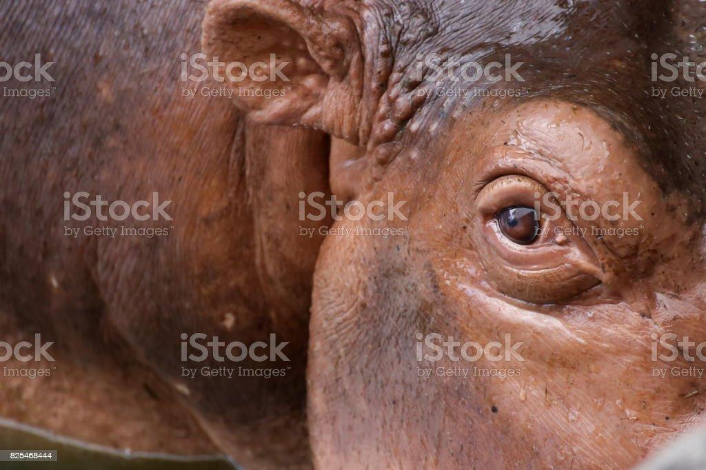 Hippopotamus in zoo stock photo