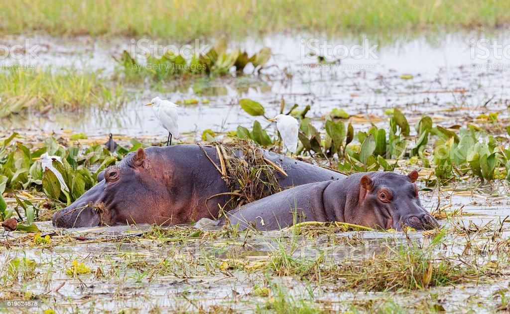 Hippopotamus Mother and Calf at Tarangire National Park, Tanzania Africa stock photo