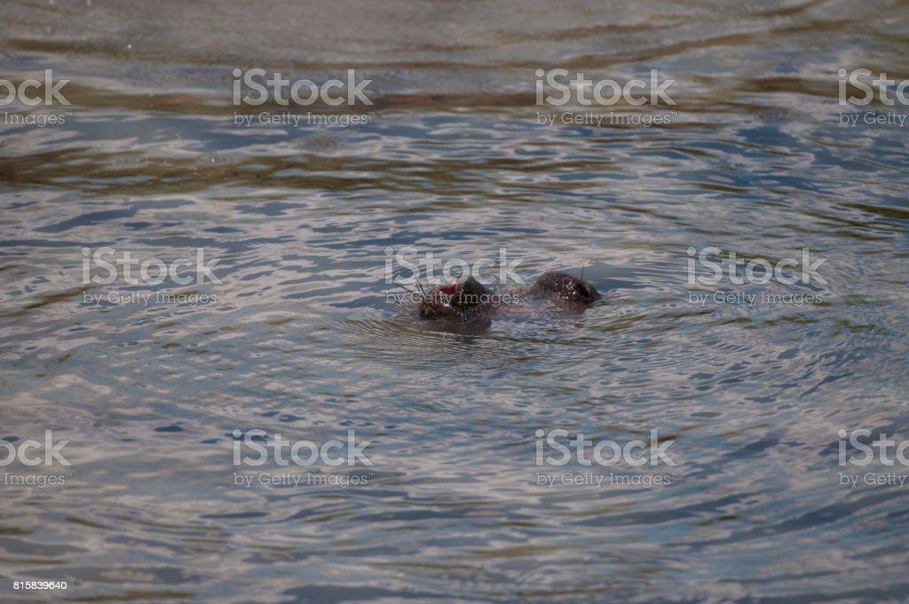 Hippopotamus nostril as he goes underwater, with ripples of water, Masai, Mara, Kenya, Africa stock photo